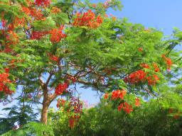 Tropical Tree in Blossom