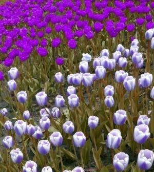 Color Values Blue Tulips