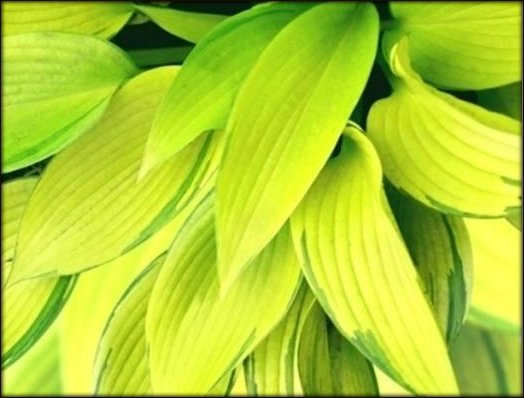 Color Values Golden Hosta
