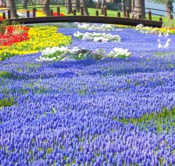 gorgeous grape hyacinth river and bridge