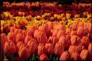 Color Values Yellow and Orange Tulips