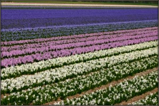 tulip field demonstrating progressive color values