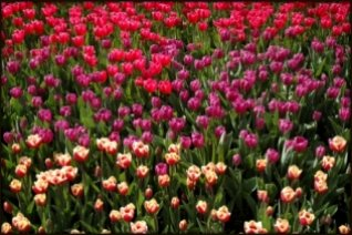 Color Values Tulips