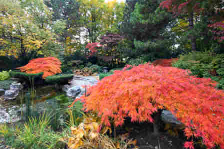 use japanese maples as garden accent