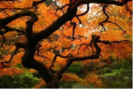 Japanese Maple as a garden focal point