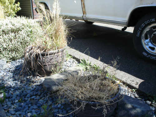 dead plants in containers