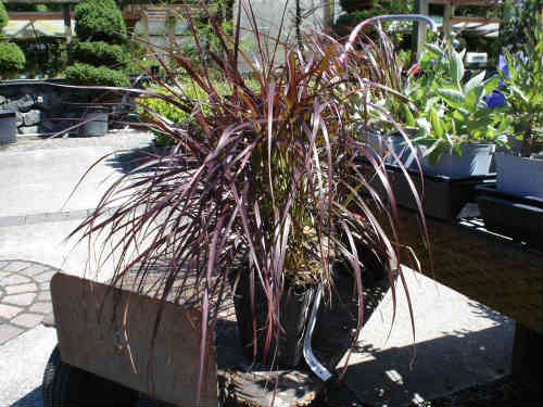 Purple Fountain Grass at the Nursery