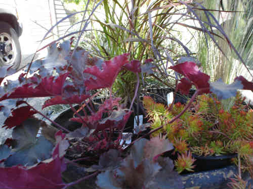 Purple Fountain Grass, Heuchera 'Chocolate Ruffles', and Sedum 'Angelina'