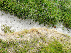 sandy beach grass