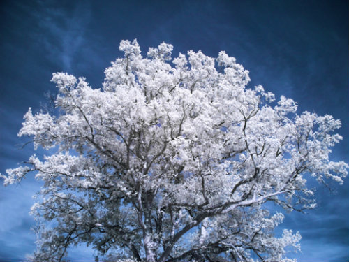 white flowering tree with rounded shape