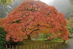 Japanese maples tend to be treated as prima dona trees