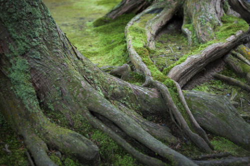 Evergreen Tree Roots covered in moss