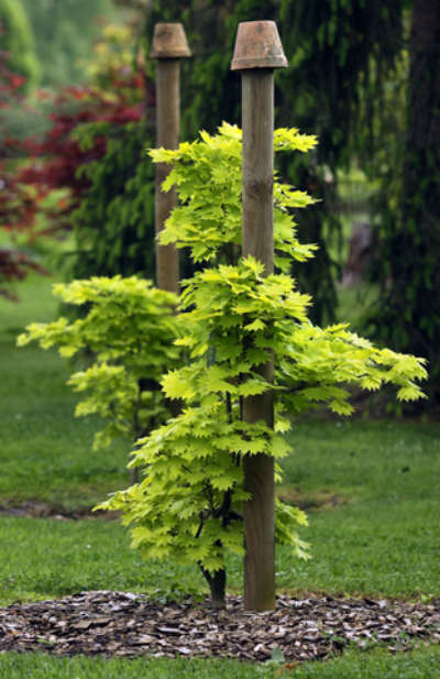 Young acer palmatum tree
