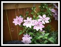 Clematis 'Nellie Moser'