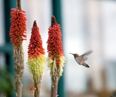 Kniphofia and a hummingbird