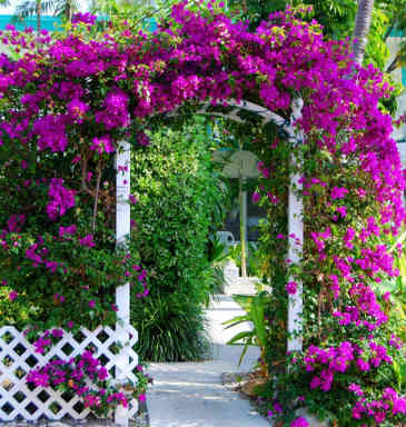 Bougainvillea is an excellent climber for a garden arbo
