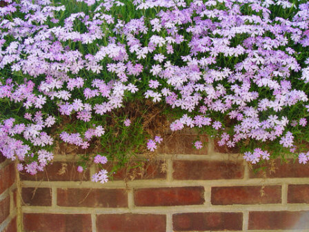 Creeping Phlox used along the top of a garden wal