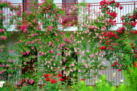 an uncommon use of climbingroses, but absolutely beautiful!