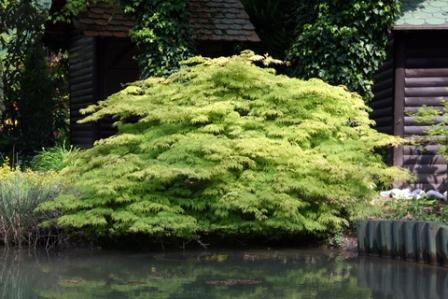Japanese Maple with Rounded Plant Form