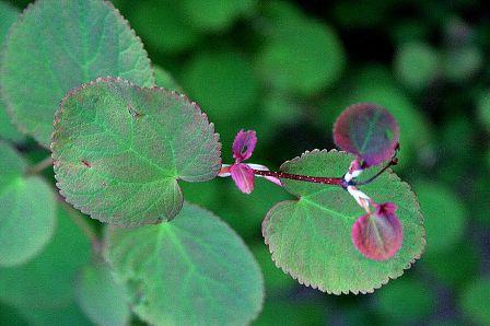 Katsura leaves leaf texture example