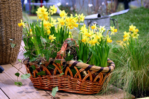 Daffodils in Woven Basket