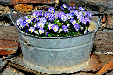 Violets in Metal Washtub