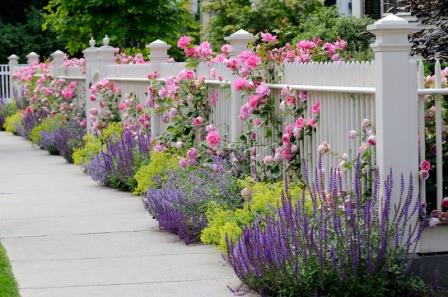 garden roses on a white picket fence