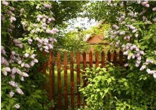 garden fence enclosed with lilacs