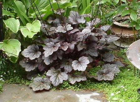 Coral Bells in the garden are an easy gardening dream